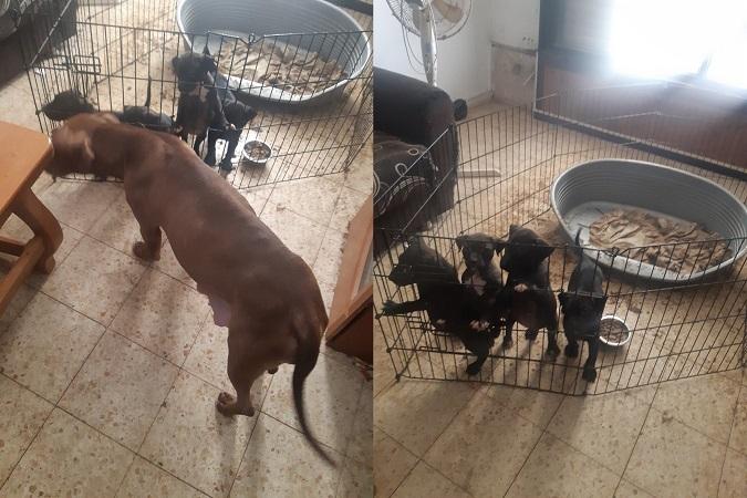 הב הב: כלבים מסוכנים הוחזקו בדירה בפתח תקווה
