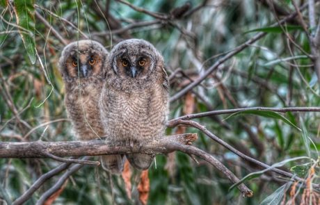 ינשופי העצים קבעו את משכנם ביער קהילתי ראש העין