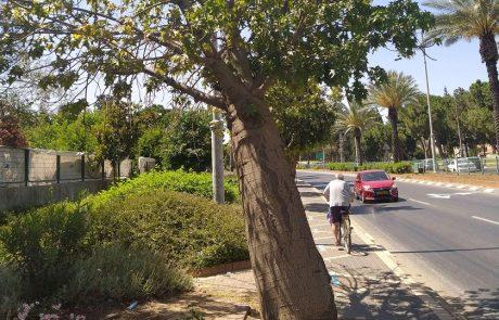 עיריית פתח תקווה תשתול עשרות עצים חדשים במקום העצים שנמצאו בסכנת קריסה